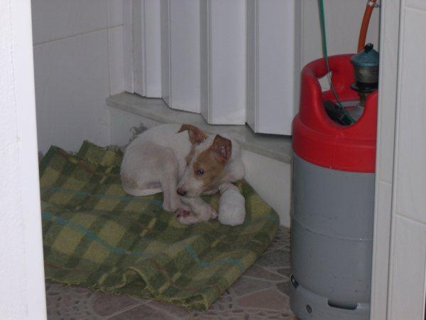 Bébé podenco trouvé dans une rivière, en Espagne - SAUVE - Suki810