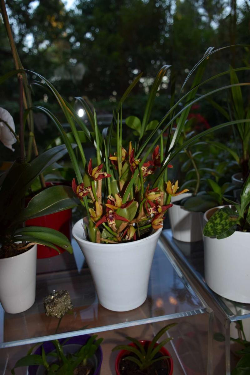 maxillaria tenuifolia Dsc_1519