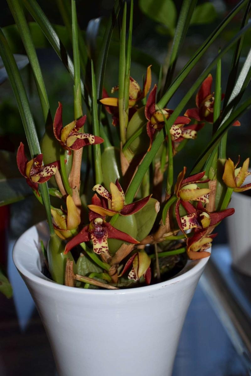 maxillaria tenuifolia Dsc_1520