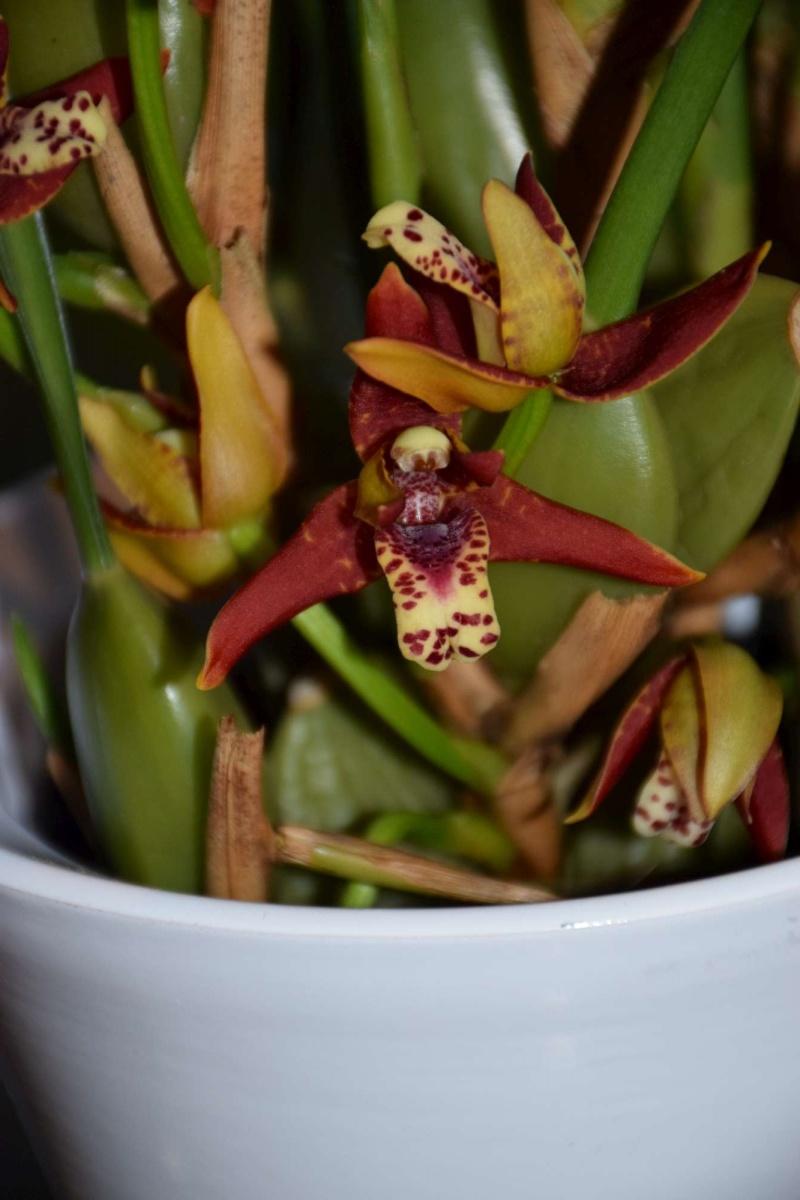 maxillaria tenuifolia Dsc_1521