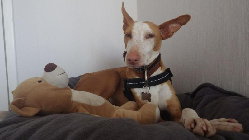 Carmona, adorable podenca, 2ans Adoptée  Carmon11