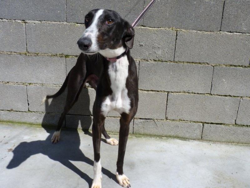 Felix beau galgo noir et blanc Scooby France Adopté  Felix10