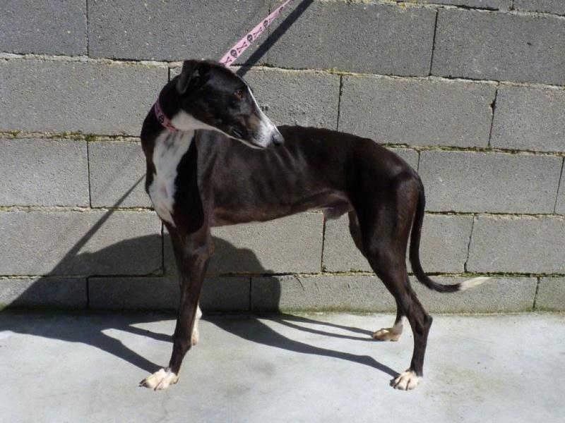 Felix beau galgo noir et blanc Scooby France Adopté  Felix_10