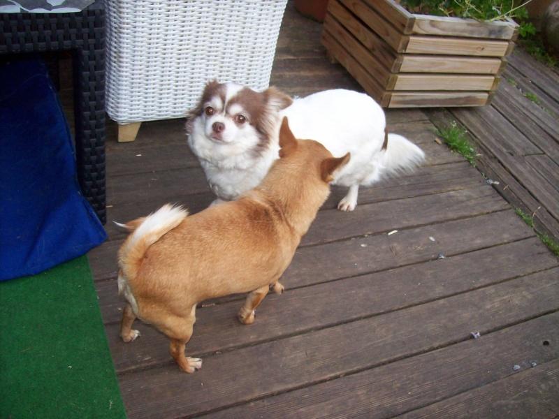 Fée Choco chihuahua Adoptée  Fye_ch12