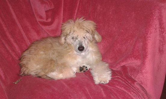 MANI petit chien chinois à houpette de 4 mois  Adopté Mani_m10