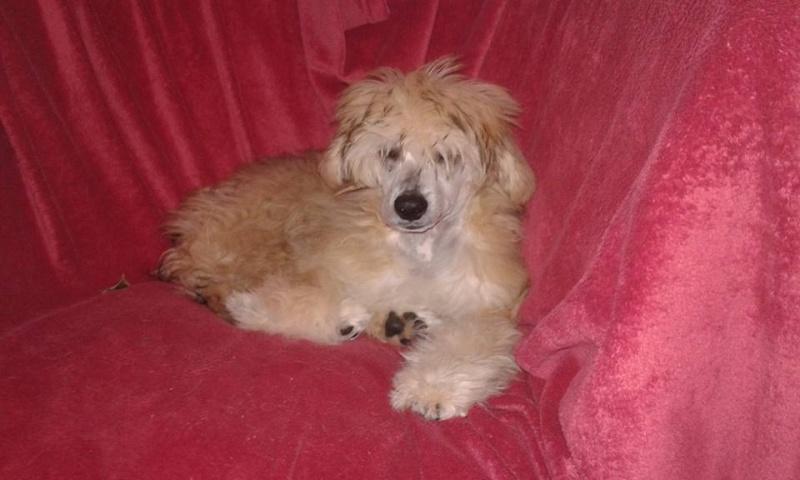 MANI petit chien chinois à houpette de 4 mois  Adopté Mani_m11