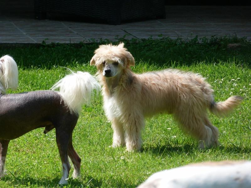 MANI petit chien chinois à houpette de 4 mois  Adopté Mani_m14