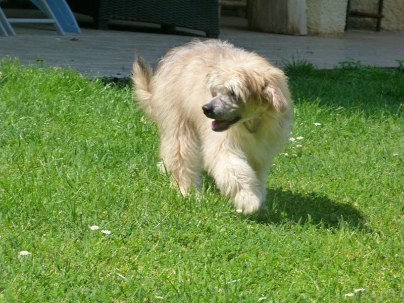 MANI petit chien chinois à houpette de 4 mois  Adopté Mani_m15