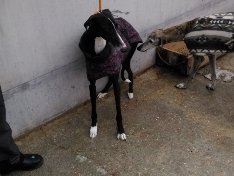MORENA galga noire de 4 ans Scooby France Adoptée  Morena10