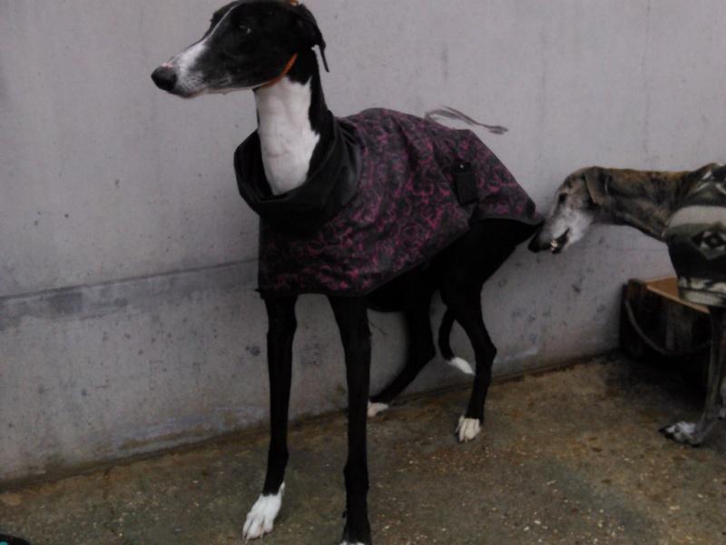 MORENA galga noire de 4 ans Scooby France Adoptée  Morena11