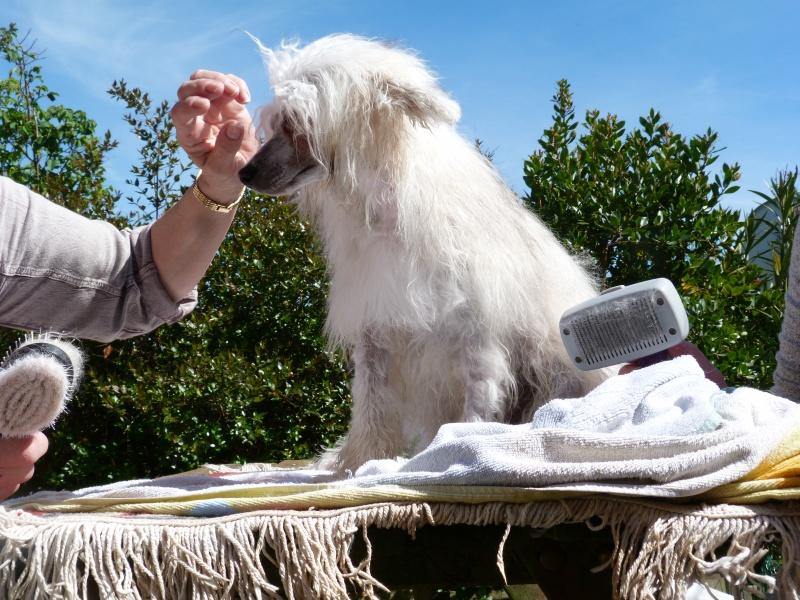 """Luna petite houpette de 9 mois """"chiens chinois à poils""""Adoptée  P5990512"""