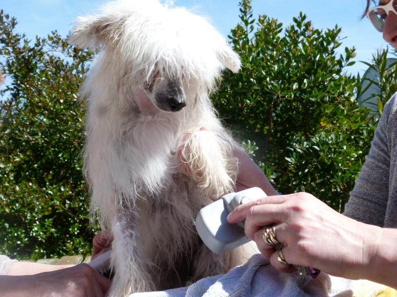 """Luna petite houpette de 9 mois """"chiens chinois à poils""""Adoptée  P5990513"""