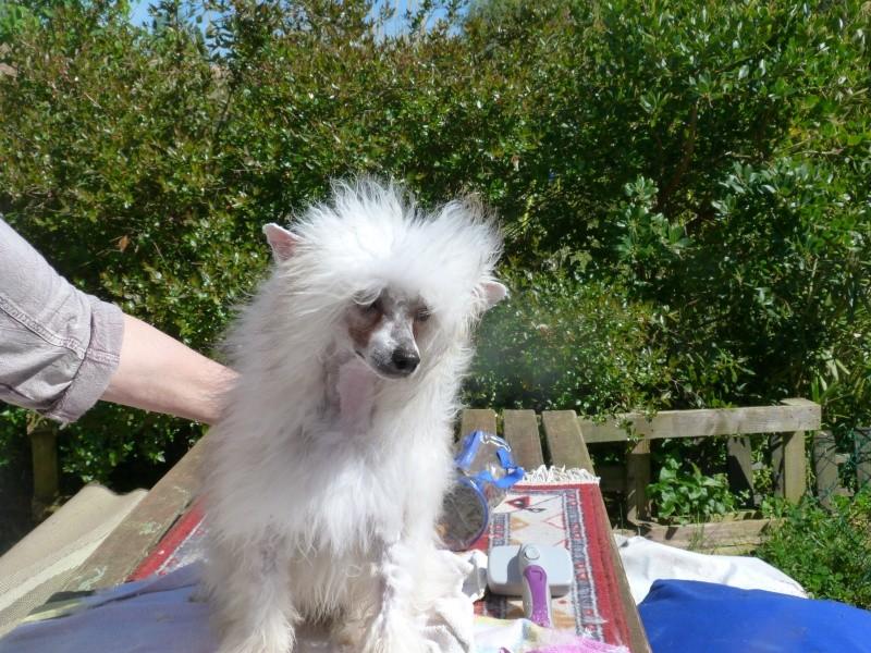 """Luna petite houpette de 9 mois """"chiens chinois à poils""""Adoptée  P5990616"""