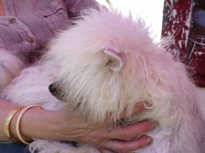 """Luna petite houpette de 9 mois """"chiens chinois à poils""""Adoptée  P5990618"""