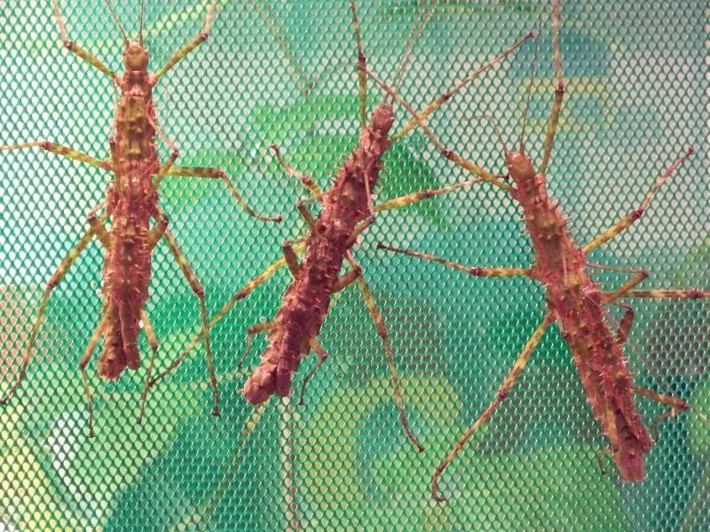 Spinohirasea bengalensis (P.S.G n°272) Phasme67