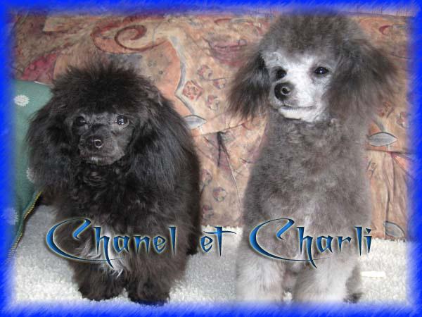 (¯`º•. Les caniches de Timinoue .•º´¯) Chanel10