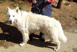 Blacko, mâle berger suisse, 3 ans. Blacko10