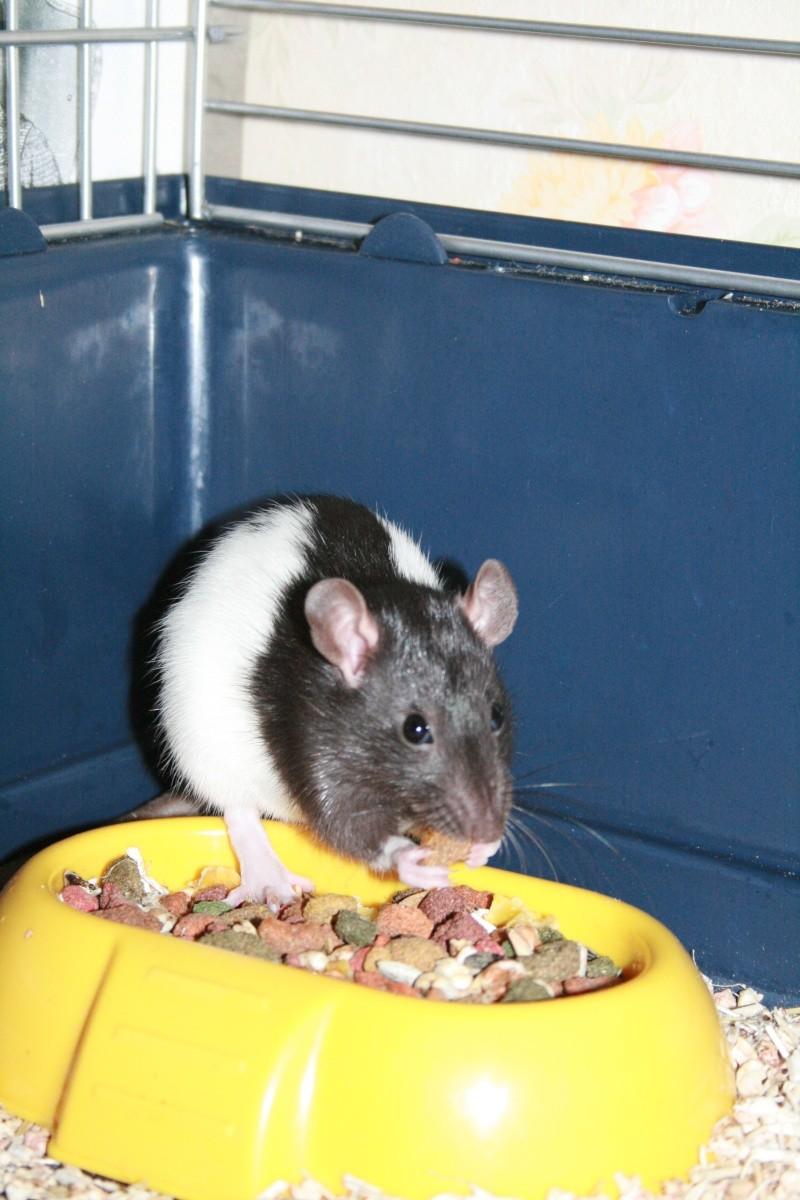 2 rattes 1 an cherchent une nouvelle maison d'urgence ! Divers10