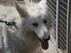 Blacko, mâle berger suisse, 3 ans. P4140011