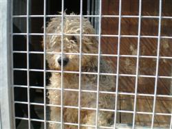 Tracy, fox terrier, 6ans P4210010