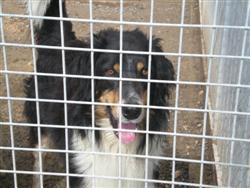 Boby, X border collie, 3 ans P4300017