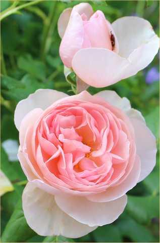 Rosa 'Héritage' !!! - Page 5 04062011