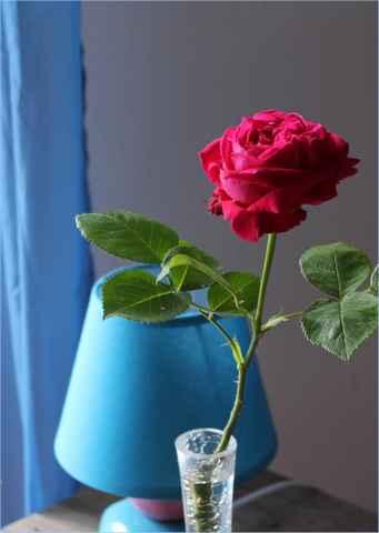 Rosa 'St-Médard' !!! - Page 3 07052019