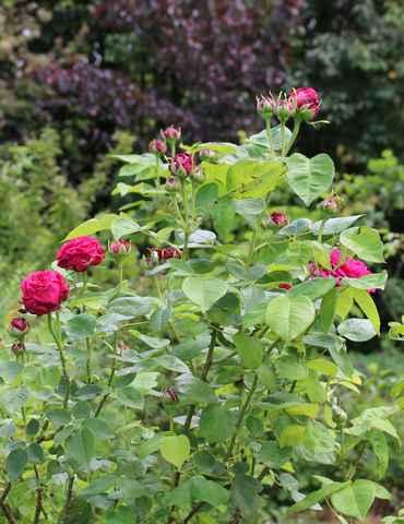 Rosa 'St-Médard' !!! - Page 3 07052023