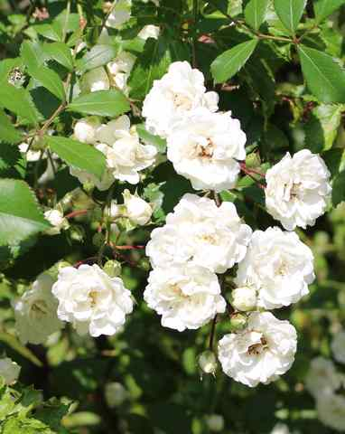 Rosa 'Little White Pet' !!! - Page 2 07062011