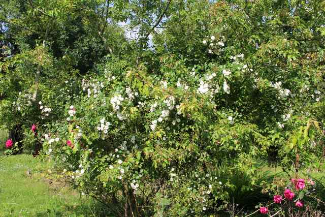 Rosa 'Little White Pet' !!! - Page 2 07062013