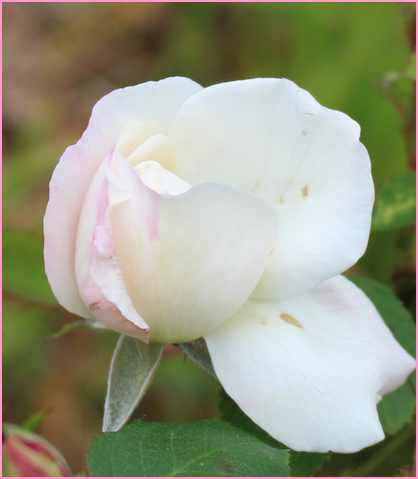 Rosa 'Winchester Cathedral' !!! - Page 2 08052013