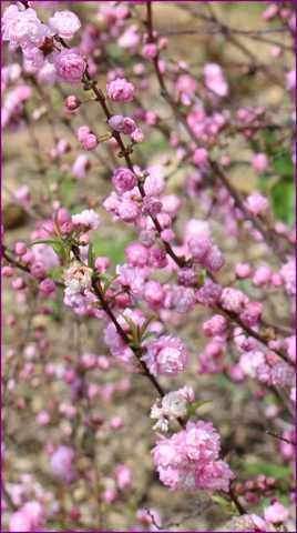 Prunus ??? 10042012