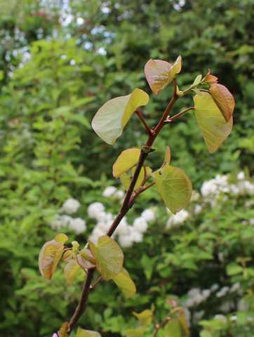 arbre de Judée........... Cercis siliquastrum - Page 2 16042010