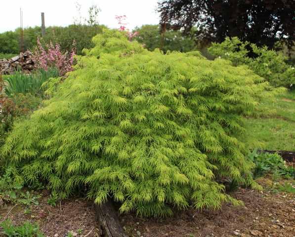 Acer palmatum 'Dissectum' !!! - Page 3 16042012