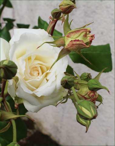 rosier Neige d Avril - Page 2 16052027