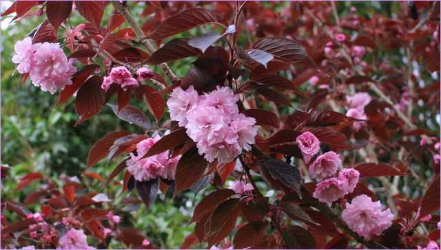 Prunus serrulata 'Kanzan' !!! 21042014