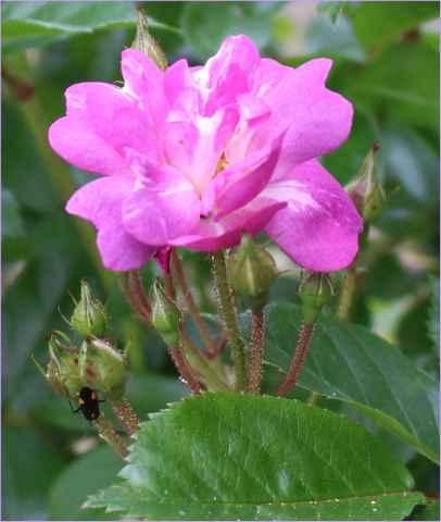 Rosa 'Veilchenblau' ! - Page 3 21052015