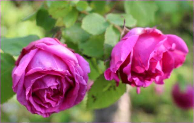 Rosa 'Mme Isaac Péreire' !!! 23052012