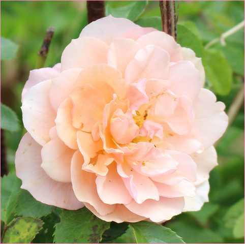 Rosa 'Papi Delbard' !!! - Page 2 25052013