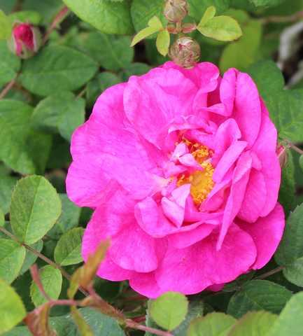 Rose Provins de chez Poron ! - Page 2 25052014