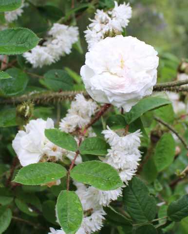 Rosa 'Blanche Moreau' !!! - Page 3 28052021