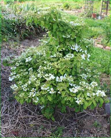 Viburnum plicatum 'Watanabe' !!! - Page 4 29042014