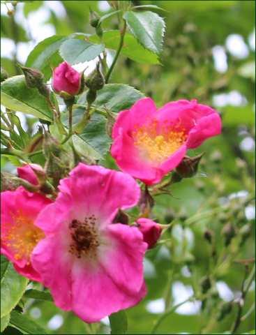 Rosa 'American Pillar' !!! - Page 3 31052017