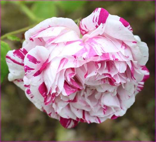 variegata di bologna - Page 4 31052018