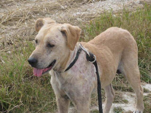 """BEBE- Labrador de 6 ans malade - la maladie dite """"de l'éléphant"""" - SAUVE - Img_0528"""