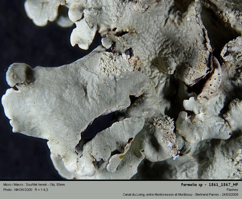 Flavoparmelia caperata (L.) Hale 1986 05_par10