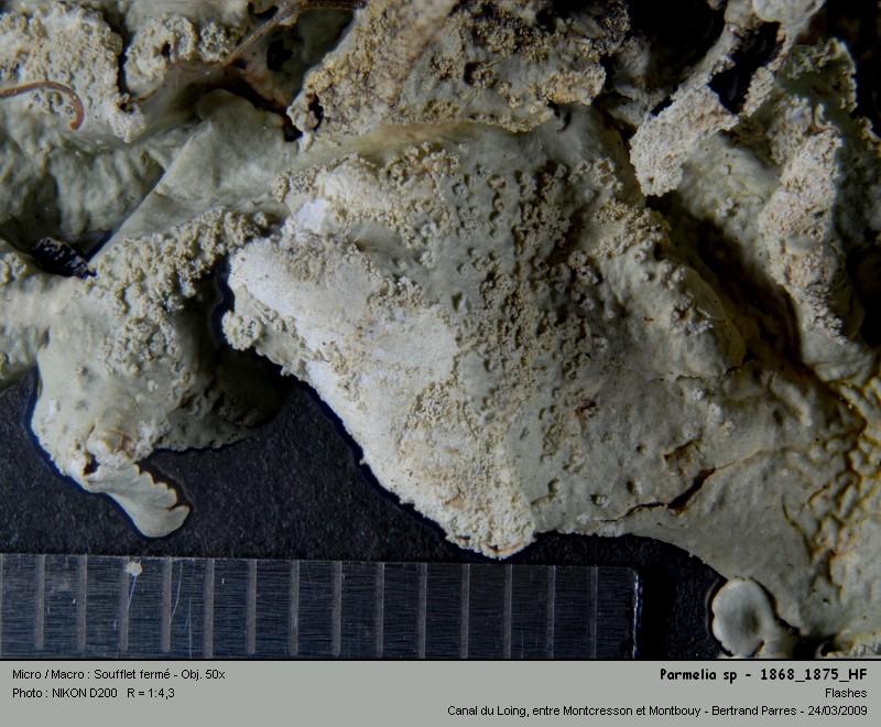 Flavoparmelia caperata (L.) Hale 1986 06_par10