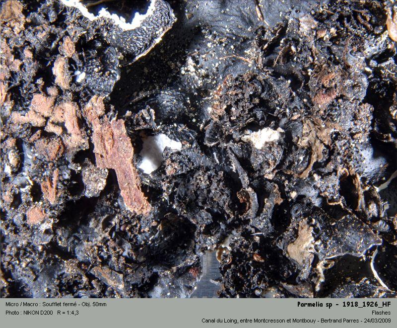 Flavoparmelia caperata (L.) Hale 1986 09_par10