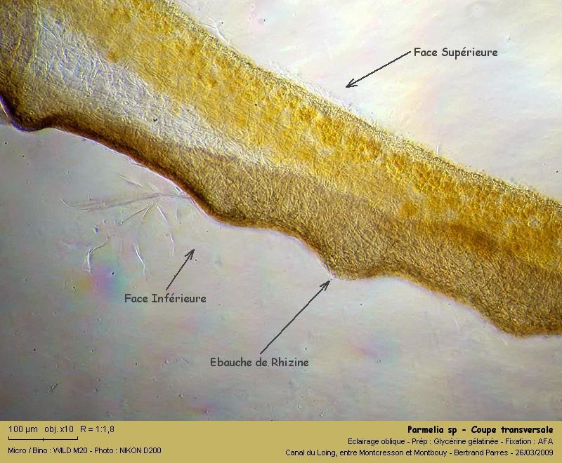 Flavoparmelia caperata (L.) Hale 1986 11_par10
