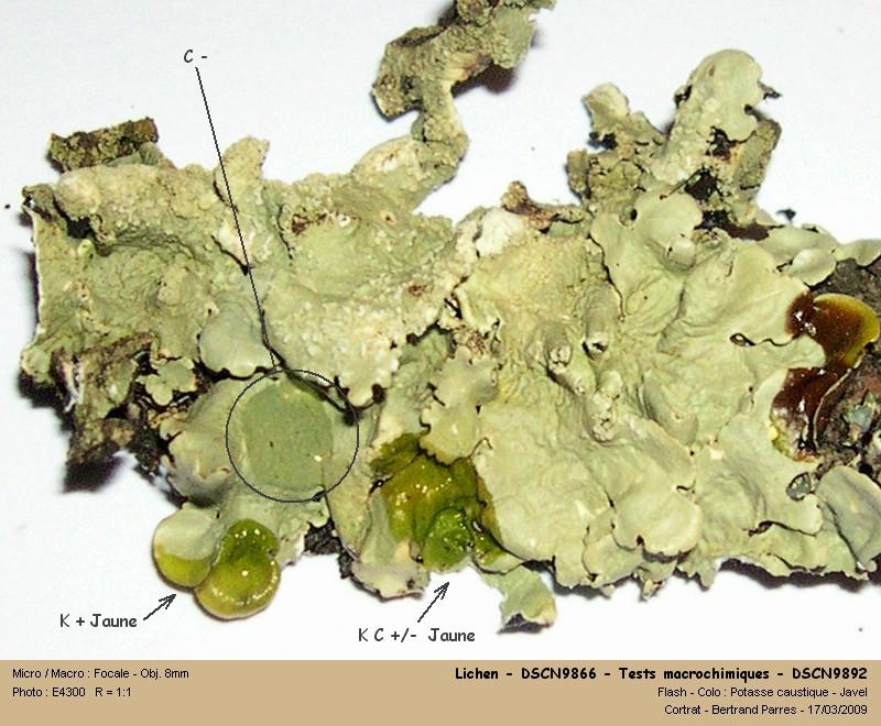 Flavoparmelia caperata (L.) Hale 1986 13_lic10